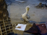 Haustier Pelikan