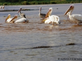 Pelikane und Krokodil im Chamo See