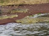 Krokodil im Chamo See