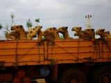 Kamele auf dem Weg nach Dschibuti