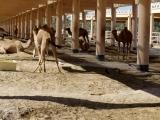 Königliche Kamelfarm