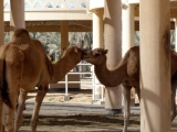 Koenigliche Kamelfarm