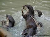 Weichfellotter - Wer faengt den Fisch