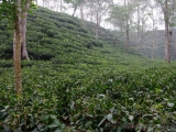 Teeplantagen von Srimangol
