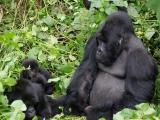 20 - Gorillafamilie