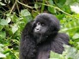 22 - Gorillafamilie