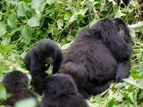 23 - Gorillafamilie