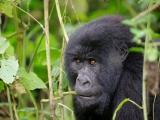 24 - Gorillafamilie