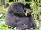 26 - Gorillafamilie