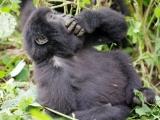 27 - Gorillafamilie