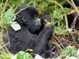 28 - Gorillafamilie