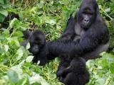31 - Gorillafamilie