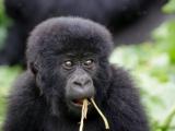 32 - Gorillafamilie