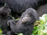 33 - Gorillafamilie