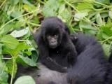 34 - Gorillafamilie