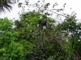 Faultier im Cuyabeno Reservat