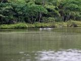 Delfin im Cuyabeno Reservat