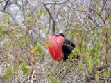 Galapagos Fregattvogel auf Lobo Island