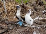 Blaufußtölpel auf Lobo Island