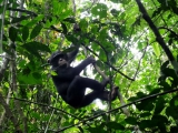 Schimpansen in Bossou