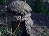 Pilzfoermige Termitenbauten
