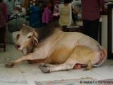 Varanasi - Kuh im Laden