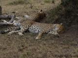 Massai Mara - Leoparden