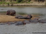Massai Mara - Nilpferde