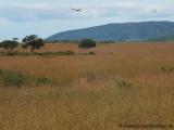 Massai Mara - Löwe