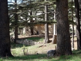 Gottes (Zedern) Wald - Kirche