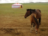 Jurte eines Pferdezuechters und Pferde