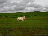 Kuh im gruenen Gras