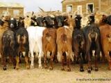 Ziegen - zum Melken zusammengebunden