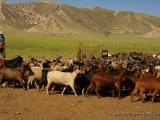Die Ziegen werden zum Melken in ein Gatter getrieben
