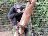 Schimpanse im Tacugama-Schimpansenprojekt