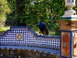 11 - Sevilla - Im Alcazar - Pfau im Garten