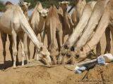 Durstige Kamele
