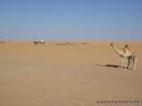 Die Besitzer der Kamele kommen geritten