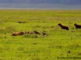 Hyaenen umkreisen die Loewen