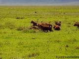 Loewin verteidigt Beute gegen Hyaenen
