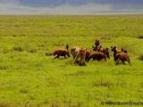 Hyaenen schlagen Loewin in die Flucht