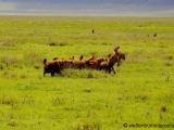 Hyaenen mit der Beute