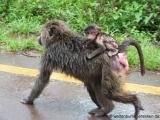 Affenfamilie im Regen
