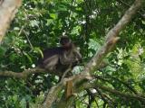 19 - Kolubus Affen im Kibale Forest