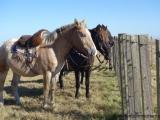Die Pferde warten