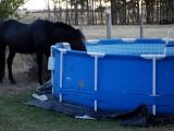 Durstiges Pferd