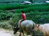 Junge-auf-Wasserbueffel