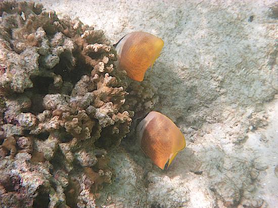 Malediven-schnorcheln