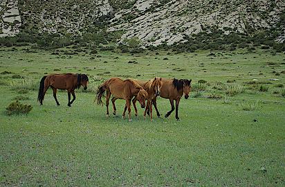 Mongolei-Pferde
