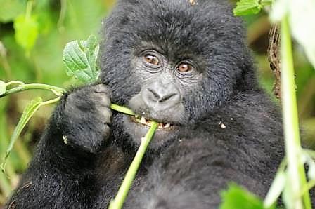 Gorilla-in-der-DR-Kongo